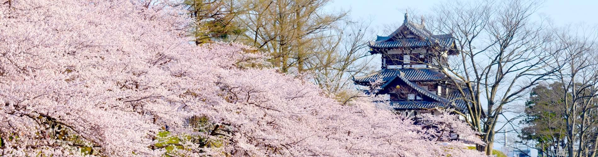 上越 高田城の桜
